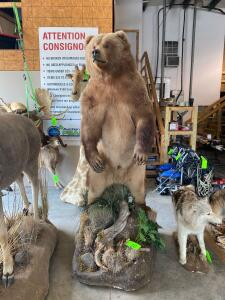 Taxidermy Man Cave Auction - Large Collection!