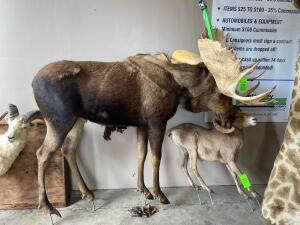 Full - Mount Moose - Head is Broken (includes Base)
